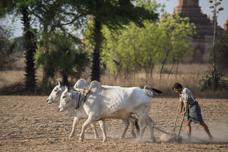 農夫と彼の雄牛は、辻ミャンマーのバガンの寺院近くフィールド。 報道画像