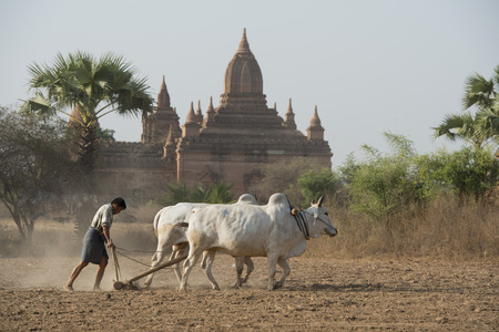 ploughing field: a farmer and his Ox are on the field near the Temples in Bagan in Myanmar in Southeastasia. Editorial