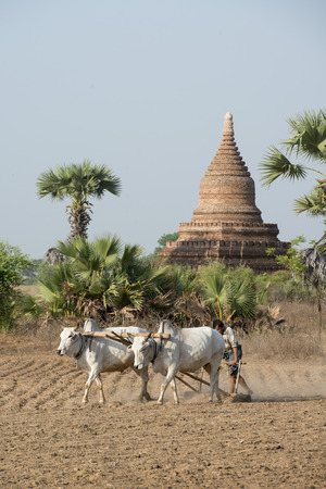 bullock animal: a farmer and his Ox are on the field near the Temples in Bagan in Myanmar in Southeastasia. Editorial