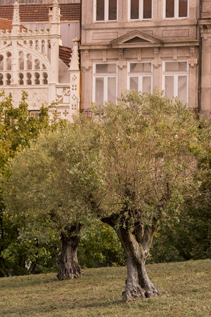 ribeira: a park with olives trees in Ribeira in the city centre of Porto in Portugal in Europe. Editorial