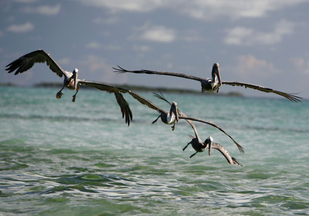 southamerica: seabirds and Pelican on a beach at the village on the Gran Roque Island at the Los Roques Islands in the caribbean sea of Venezuela.