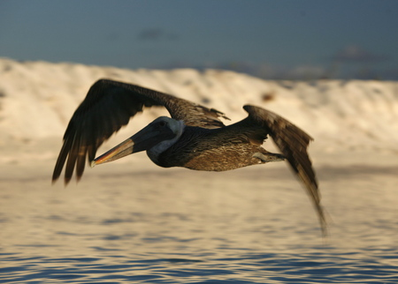 pelikan: seabirds and Pelican on a beach at the village on the Gran Roque Island at the Los Roques Islands in the caribbean sea of Venezuela.