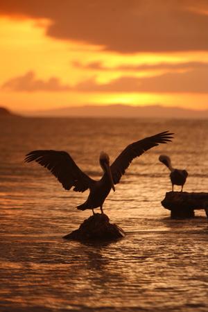 pelikan: pelican seabirds at the beach in the town of Juangriego on the Isla Margarita in the caribbean sea of Venezuela.