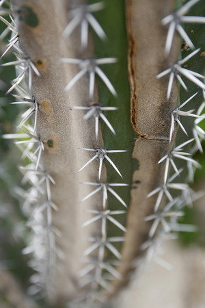 southamerica: a cactus in the town of chuao near choroni on the caribbean coast in Venezuela. Stock Photo