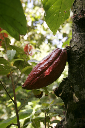 southamerica: cacao beans in a cacao plantation in the town of chuao near choroni on the caribbean coast in Venezuela.