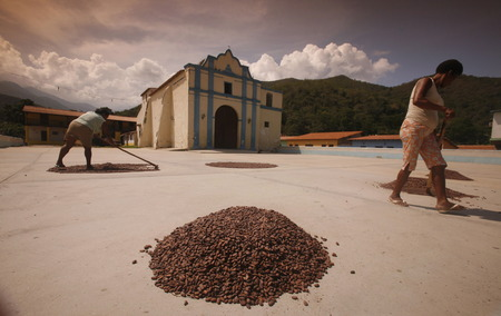 southamerica: cacao plantation worker let dry the cacaobeans in the sun in the town of chuao near choroni on the caribbean coast in Venezuela. Editorial