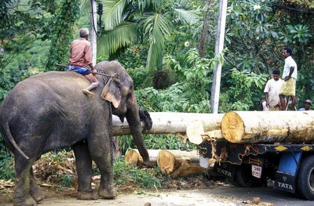 agriculture sri lanka: a elephant works with wood near the town of Nuwara Eliya in the southwest of Sri Lanka in Asien.