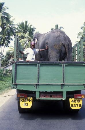 agriculture sri lanka: a elephant transport near the town of Nuwara Eliya in the southwest of Sri Lanka in Asien.