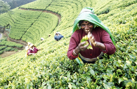 agriculture sri lanka: a tamil women works at a tea plantation in the town of Nuwara Eliya in Sri Lanka in Asien.
