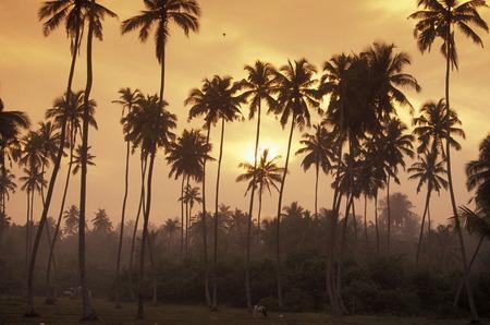 agriculture sri lanka: a coconut plantation at the coast of Hikaduwa at the westcoast of Sri Lanka in Asien. Stock Photo