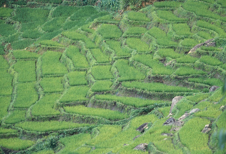 ricefield: rice fields in the town of Nuwara Eliya in Sri Lanka in Asien.