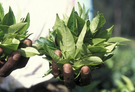 agriculture sri lanka: a tea plantation in the town of Nuwara Eliya in Sri Lanka in Asien.