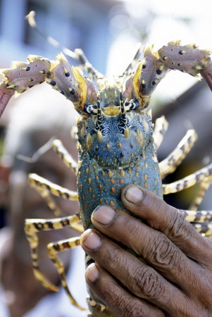 asien: a lobster at the market in the town of Hikkaduwa in the southwest of Sri Lanka in Asien.