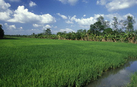 mekong river: a rice field on the Mekong River near the city of Can Tho in the Mekong Delta in Vietnam