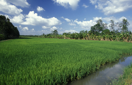 can tho: a rice field on the Mekong River near the city of Can Tho in the Mekong Delta in Vietnam