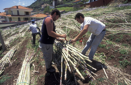 suger: farmers at work with sugar cane in funchal on the Island of Madeira in the Atlantic Ocean of Portugal.