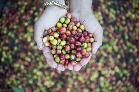 メイの tha タイ北部のランパン市近くの丘でコーヒー プランテーション。 写真素材