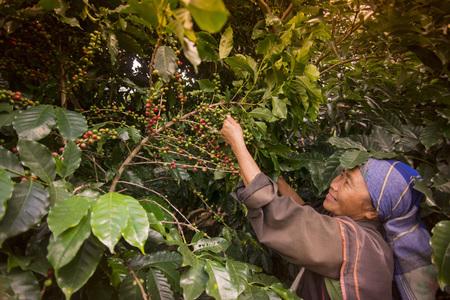 koffie Oogst en het verdienen op de koffieplantage bij de stad van Mae Salong noorden van de stad Chiang Rai in Noord-Thailand.