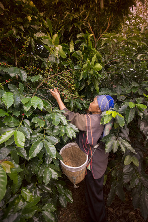 coffee Harvest and earning at the coffee plantation at the town of Mae Salong north of the city Chiang Rai in North Thailand.