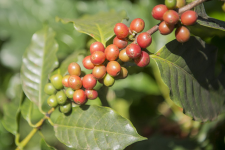 coffeetree: coffee Harvest and earning at the coffee plantation at the town of Mae Salong north of the city Chiang Rai in North Thailand.