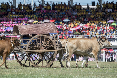 a traditional bullock cart at the Elaphant Show in the Stadium at the traditional Elephant Round Up Festival in the city of Surin in Isan in Thailand. Thailand, Isan, Surin, November, 2017 Redakční