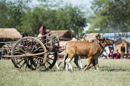 a traditional bullock cart at the Elaphant Show in the Stadium at the traditional Elephant Round Up Festival in the city of Surin in Isan in Thailand. Thailand, Isan, Surin, November, 2017