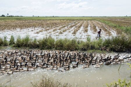 a duck farm at a water Khmer Management System and canal in the fields and lndscape near the city of Kampong Thom of Cambodia.  Cambodia, Kampong Thom, November, 2017, Editorial