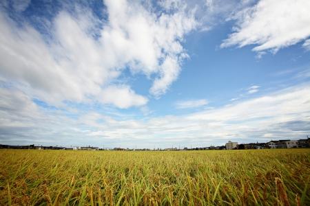 padi: Paddy field in a sunny day