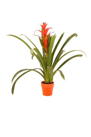 guzmania: Big orange-red guzmania lingulata (star light) flower in orange flowerpot isolated on white background Stock Photo