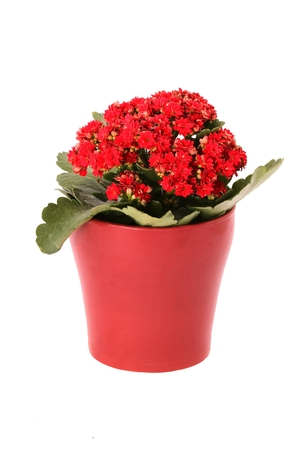thrill: Red kalanchoe blossfeldian (flaming katy, widows thrill) flowers in red ceramic flowerpot isolated on white background
