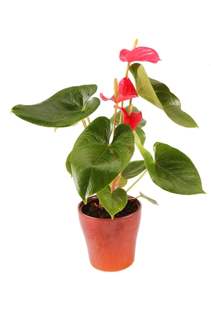 Red laceleaf (anthurium andraeanum) plant in brown ceramic flowerpot isolated on white background Stock Photo
