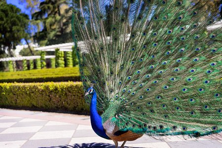 not open: Beautiful male peacock with its tail open in the sun. Colorful peacock feathers. These animals live free on a public park in Madrid, Spain. Not a zoo. No release needed.
