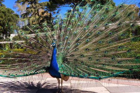 그것의 꼬리와 함께 아름 다운 남성 공작 햇볕에 엽니 다. 다채로운 공작 새 깃털입니다. 이 동물들은 스페인 마드리드의 공공 공원에서 무료로 삽니다