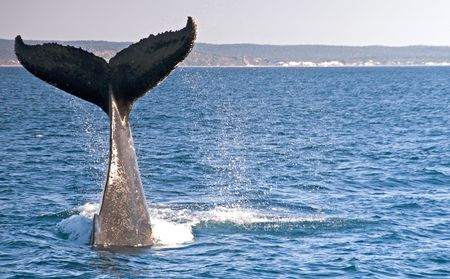 Humpback Whale off the coast of Hervey Bay, Australia