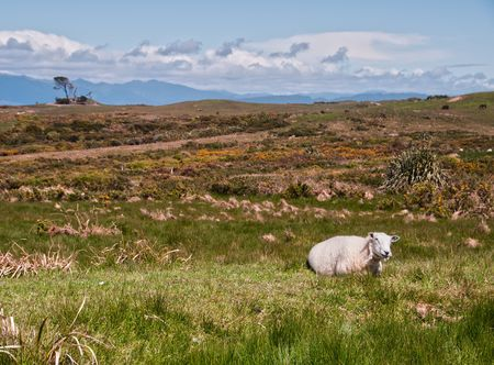 Sheep in the Cape Foulwind Countryside in New Zealand. photo