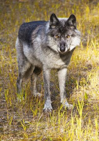 Wild Wolf in Banff National Park, Alberta, Canada photo