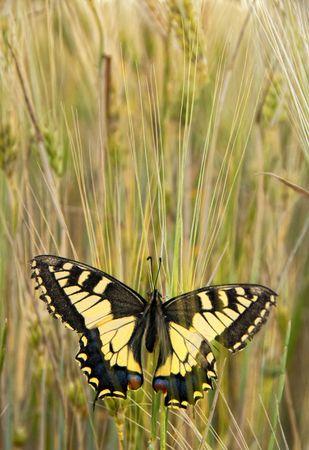 festoon: Eastern Festoon Butterfly - Zerynthia Cerisy in Cyprus.