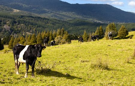 New Zealand Cows & Countryside. photo