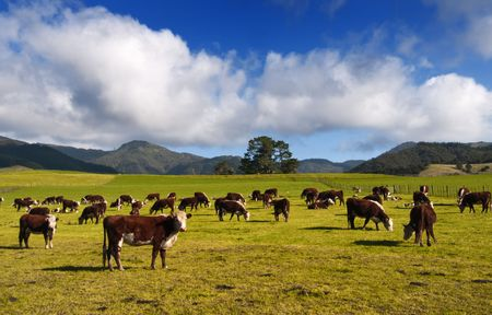 zealand: New Zealand Cows & Countryside. Stock Photo