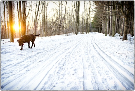 labrador christmas: Winter hike at sunset Stock Photo