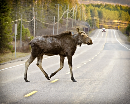 A wild female moose crossing highway 60 in Algonquin Park, Ontario, Canada.