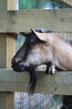 sheep eye: Sad Goat Behind Fence