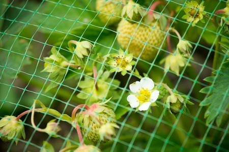 immature: Immature strawberry flowers and berries growing under protective net