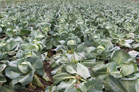 grown up: Close up image of green cabbage grown on a farm Stock Photo