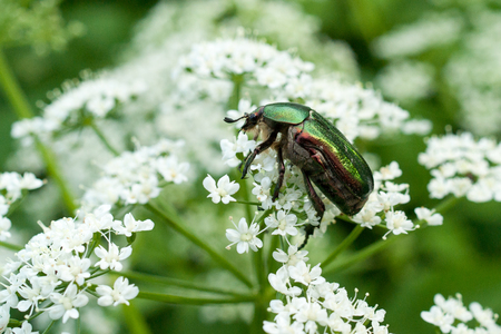Close-up image of rose chafer bug on white flowers