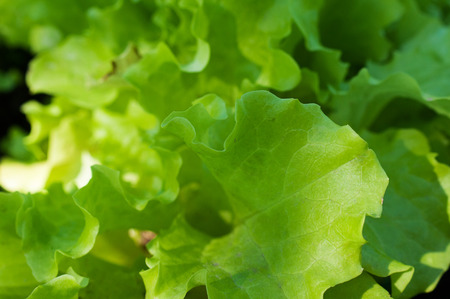 grown up: Green lettuce leaves grown in farm close up. Stock Photo