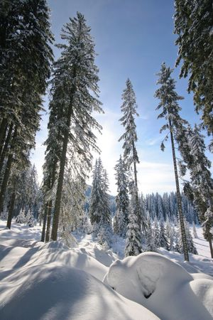 Winter scene in pokljuka forest in slovenia photo