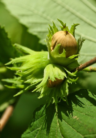 Green hazelnuts on a tree branch in nature in spring close up photo