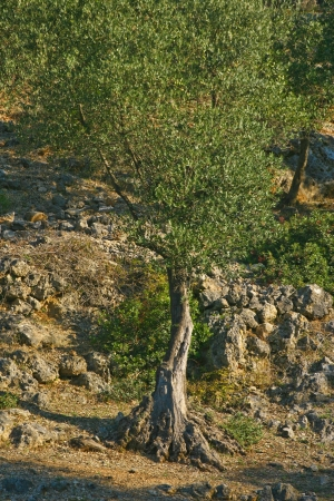 olive tree in olive plantation in croatia photo