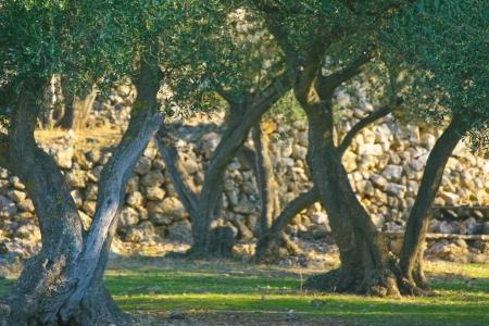 olive tree in olive plantation in croatia Stock Photo